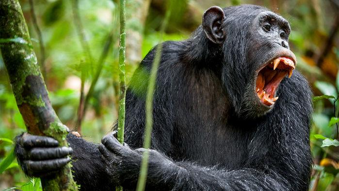 chimp_16x9